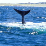 Whale Tail Off Race Point Provincetown Mass